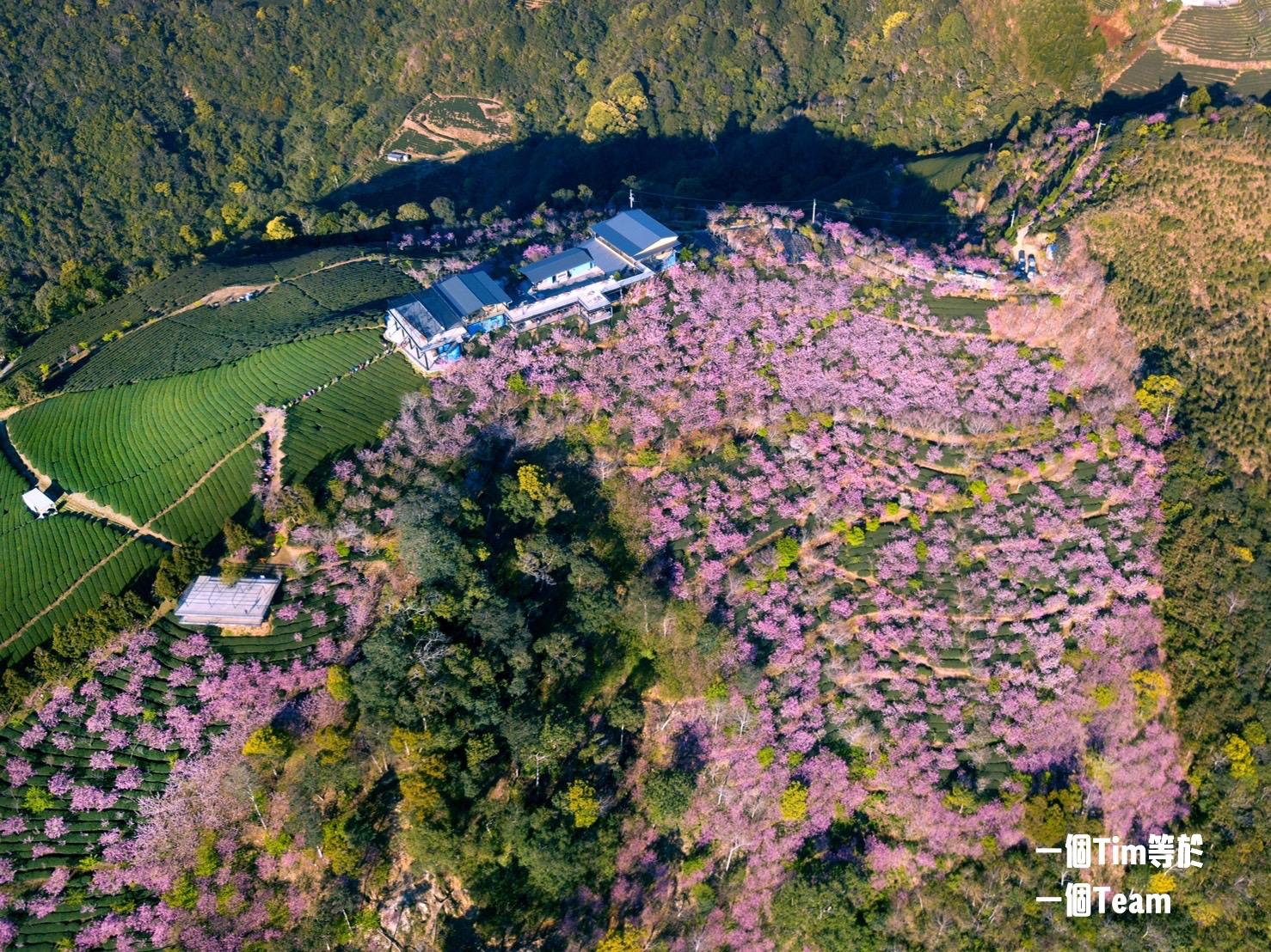 台灣.南投|半座山頭被櫻花覆蓋 武界賞櫻秘境還有雲瀑相伴
